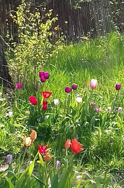 tulip at elisabeth cardell YtterJarna